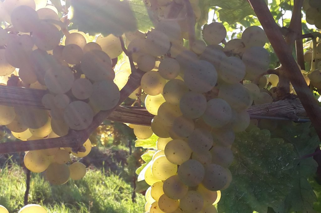 The most famous autochthonous grape variety